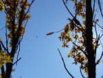 yellow leaves, hawk and sun