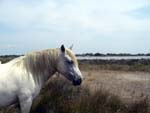 horse in Camargue