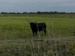 Bull in Camargue