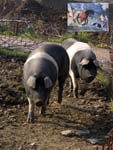 Cinta senese pigs, an old breed also painted by Lorenzetti in