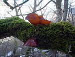 Strange (frozen?) mushroom on a tree, Casentino (Tuscany)