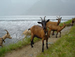 Aletsch Glacier and some goats, Swiss