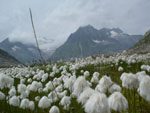 Flowers, Aletsch, Swiss