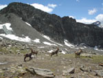 Ibex (stambecco): a group in Val d'Aosta